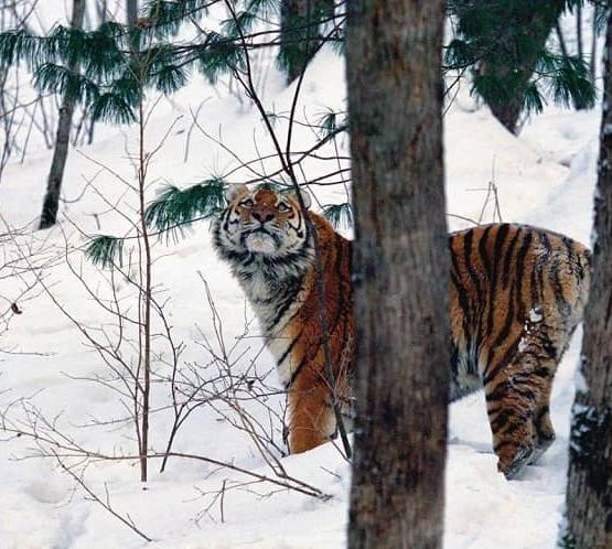 История Упорного тигра