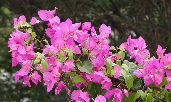 Бумажный цветок или Бугенвиллия